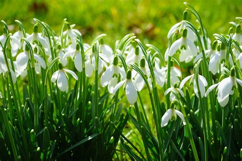 Snowdrop Cross Stitch Kit featuring a cluster of white flowers