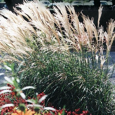 Miscanthus sinensis Scout™ (M77) (38 cells) PP30402 liners
